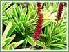 Aechmea gamosepala 'Lucky Stripe' (Variegated Matchstick Plant/Bromeliad, Variegated Gamos Bromeliad, Variegated Urn Plant)