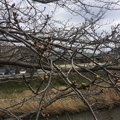 2016/03/21 東京は開花
