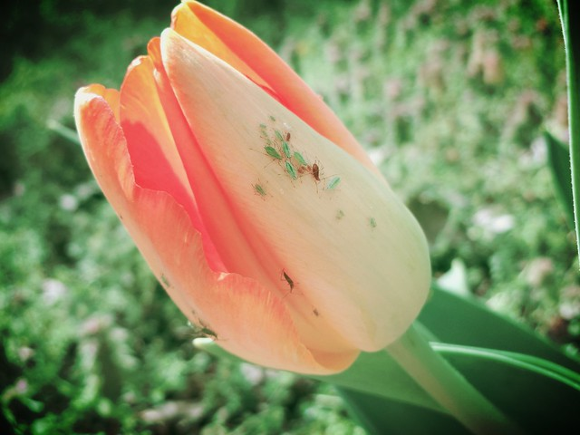 Tulip and Aphids
