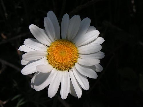 20080511 20666 0901 Jakobus Margarite Blume weiß gelb