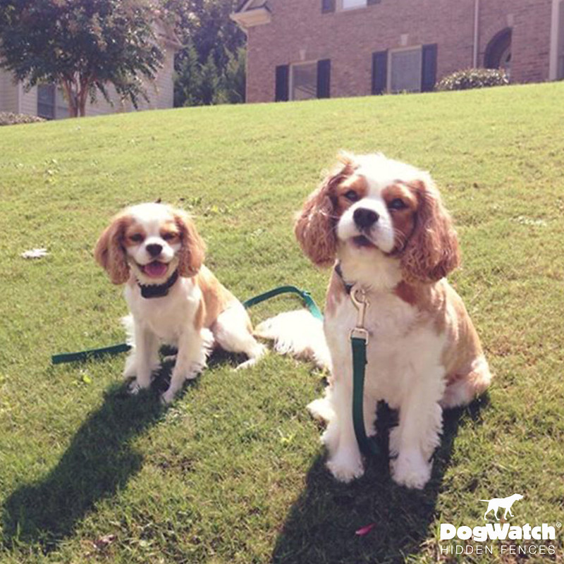 Charley and Murphy, Cavalier King Charles Spaniels, Atlanta/Athens DogWatch
