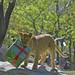 La leona SHANGA celebra su primer cumpleaños en BIOPARC Valencia
