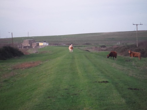 Cows on dyke, and East Haven Creek Flood Barrier