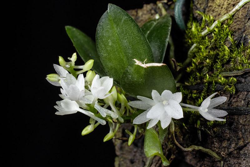 Miniatur-Orchideen Teil 3 24050478629_5cfcae299c_c