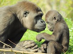 GaiaZOO - Gorilla met jong - Gemaakt door Hans Janssen