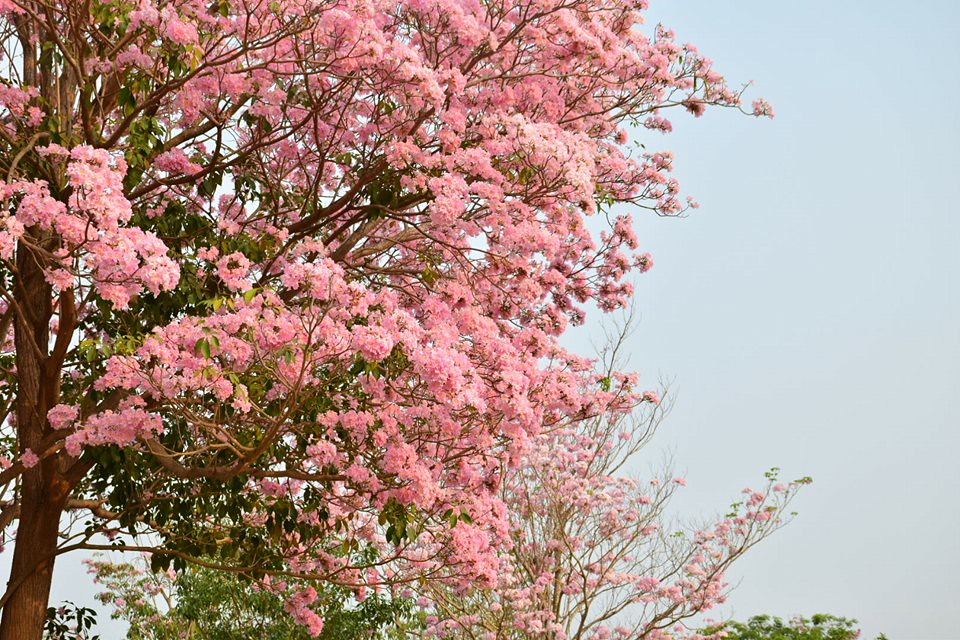 Tabebuia rosea (11)