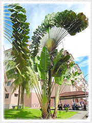 Clustering Ravenala madagascariensis (Traveller's Palm, Traveller's Tree) seen at a residential property, Feb 4 2016