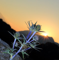 Chardons bleus des Pyrénées / Thistle and sunset/  Eryngium bourgatii