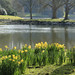 Daffodils at Stourhead by Judith White