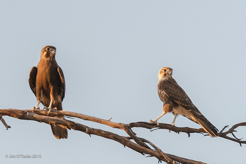 Brown Falcon pair  (2)