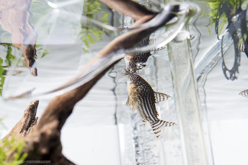 金翅珍珠鼠