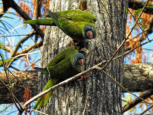 FL: Blue-crowned Parakeets