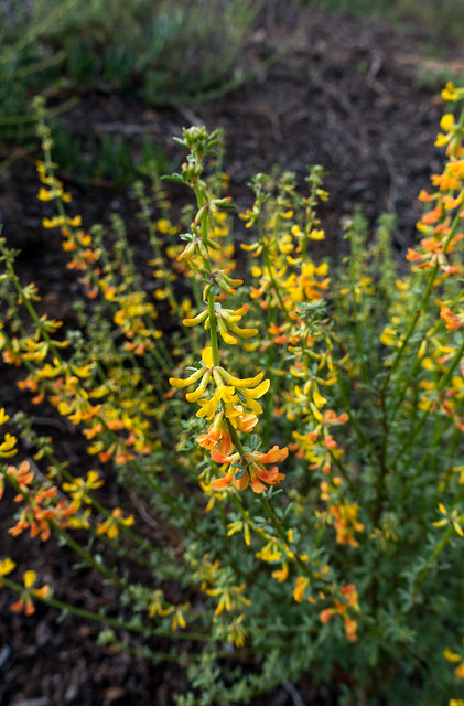 California broom (Lotus scoparius)