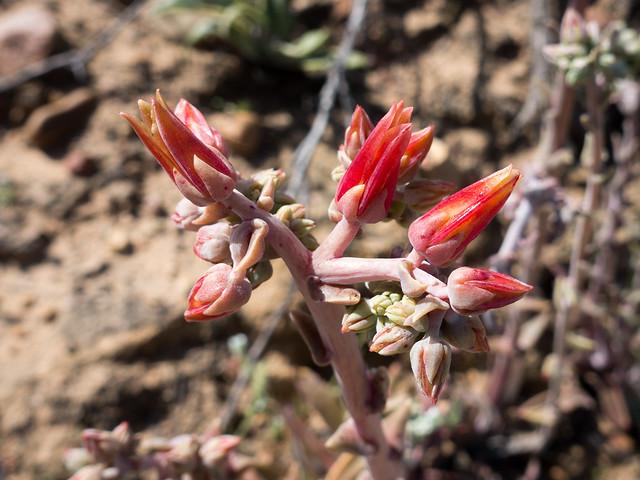 Lanceleaf dudleya (Dudleya lanceolata)