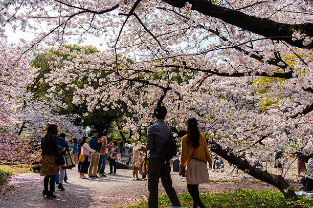CherryBlossoms_108