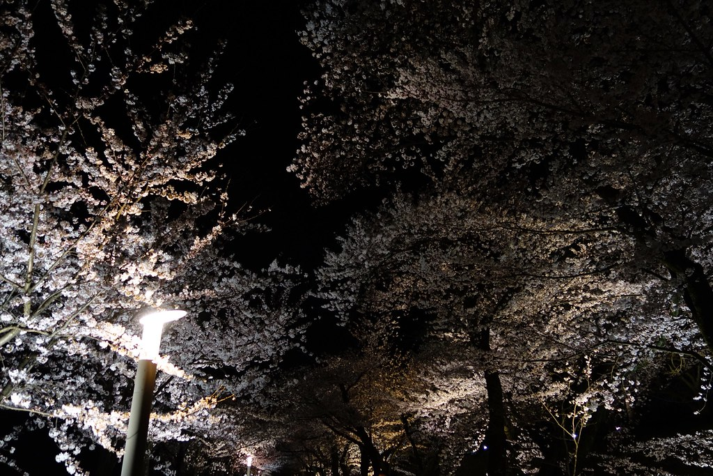 Cherry tree of the Kanazawa castle park