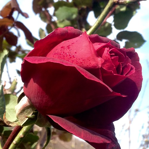 Profumo di rose .