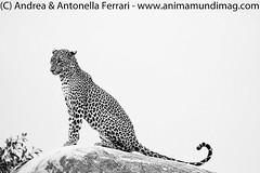 Sri Lankan leopard Panthera pardus kotiya