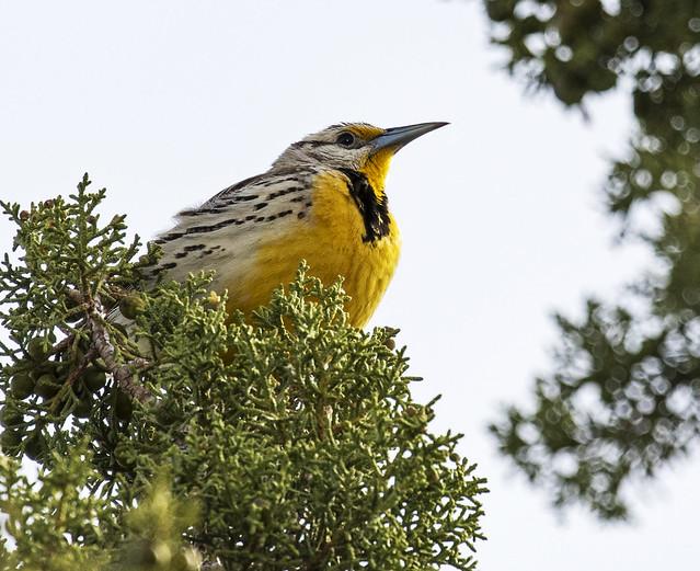 Western Meadowlark 3-7D2-140416