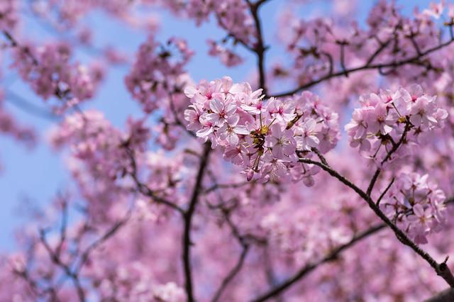 ピンク色のオオヤマザクラが見頃!
