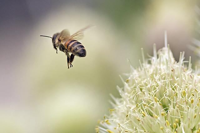 Honeybee's ascending to the sky