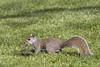 Grey Squirrel 2016-04-30 (6D_2163)