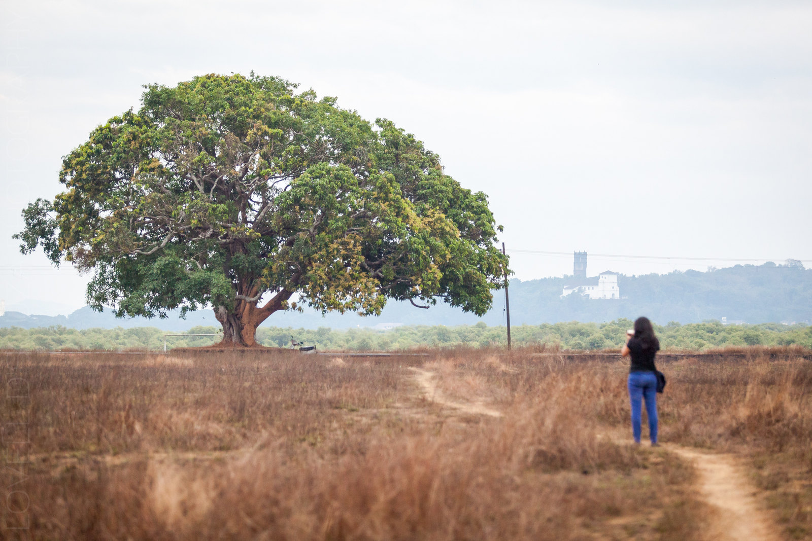 The tree along the road at Divar