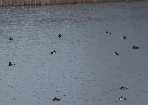 Hybrid duck, Brogborough Lake, 24th January 2016