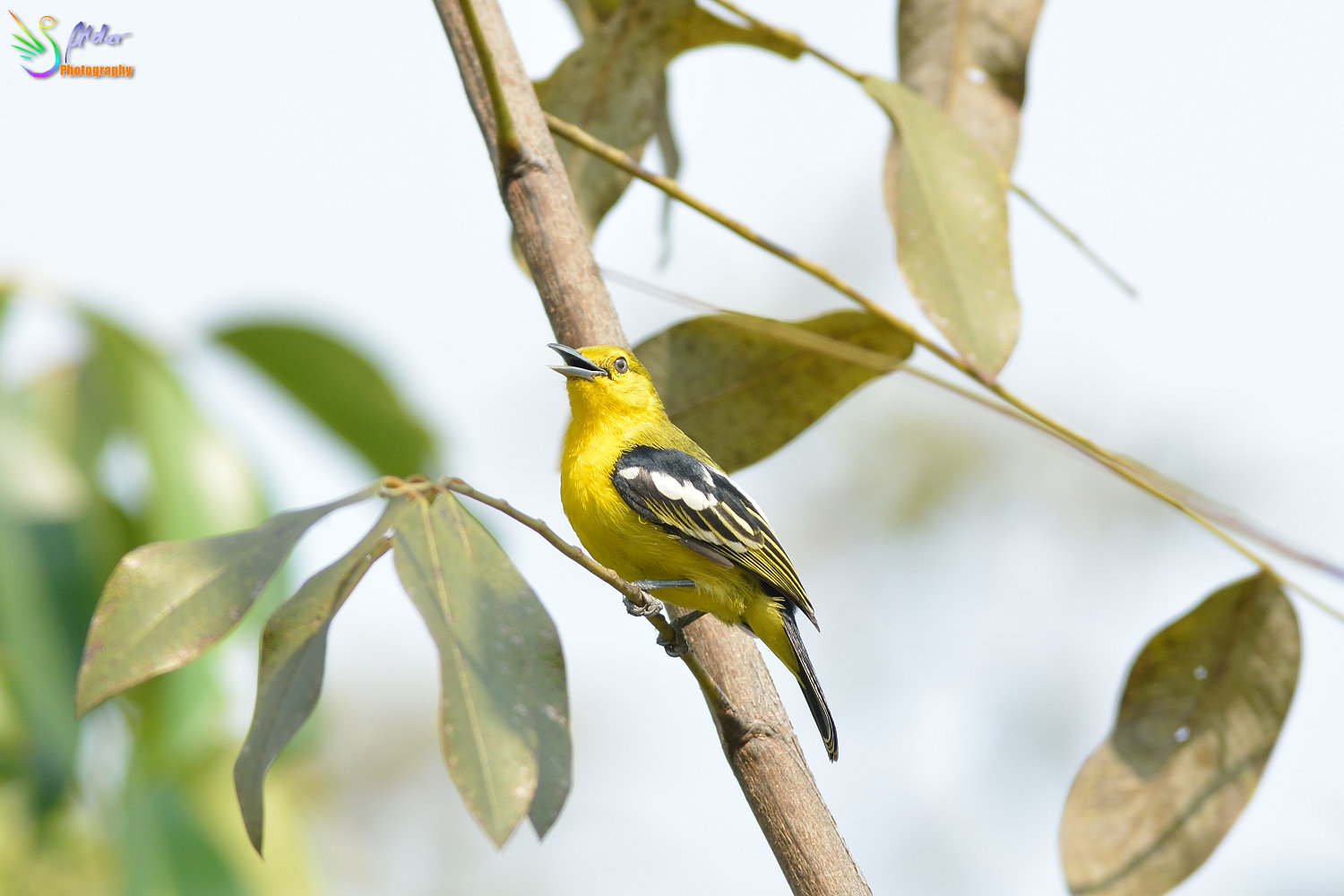 Common_Iora_1054