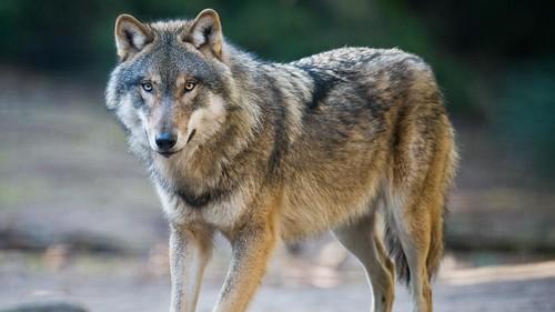 Wolf Totem - screenshot 10