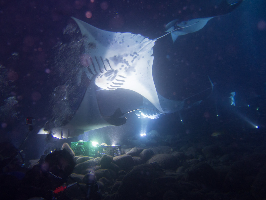 Manta rays at night