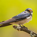 White-throated Swallow - Dinonkeng by david_j_boorman