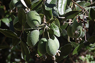 Feijoas frutos | by Finca la Casilla