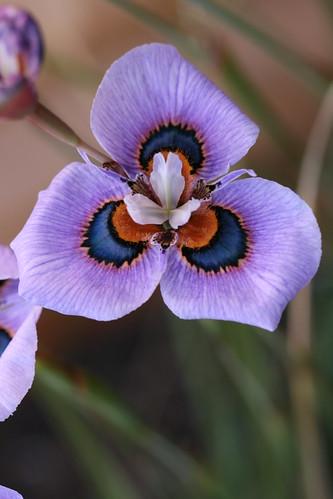 Moraea villosus