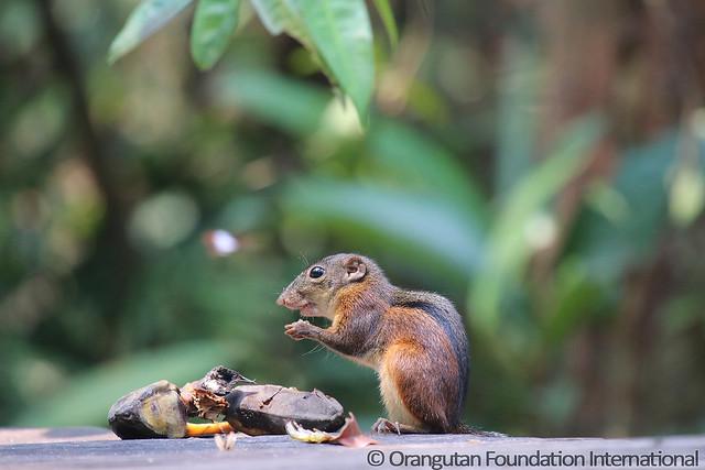10 - Three-Striped Ground Squirrel (Lariscus insignis) BMG_wm