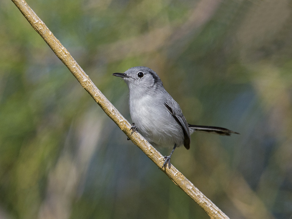 Cuban Gnatcatcher   endemic to Cuba