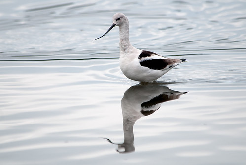 One and a Half Avocets