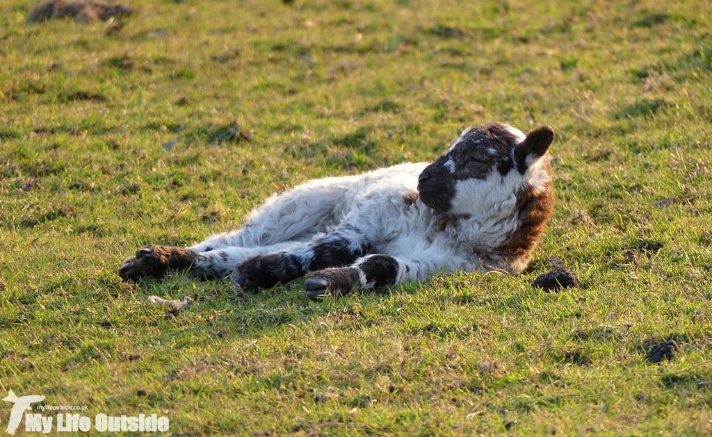 P1000540 - Lamb