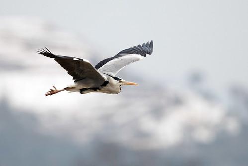 Gråhäger - Grey Heron
