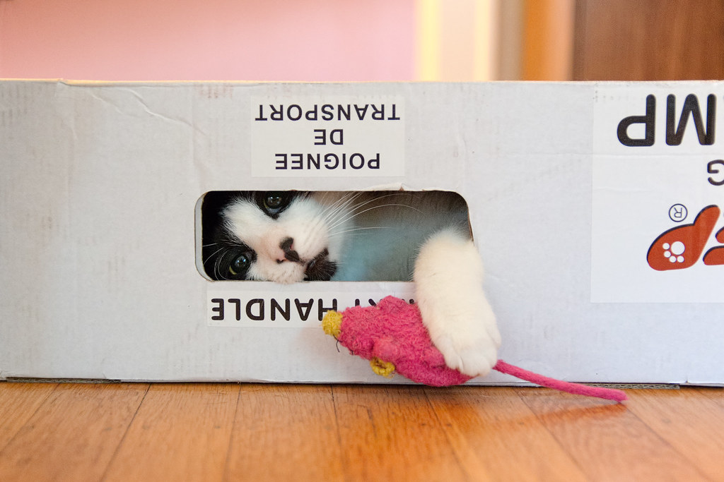 Our cat Boo tries to pull his toy mouse into the box where he is playing