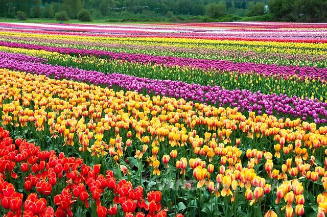 Abbotsford Tulip Festival-5