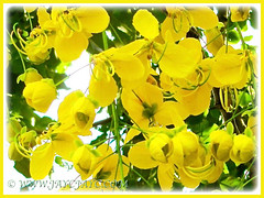 Closeup of Cassia fistula's or Golden Shower's flowers, Dec 6 2009