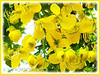 Cassia fistula (Golden Shower Tree/Cassia, Purging Cassia/Fistula, Indian Laburnum, Monkey-pod Tree)