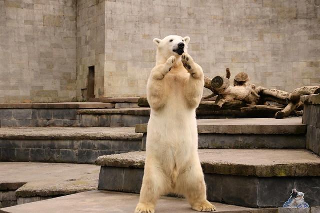 Eisbär Fiete im Zoo Rostock 16.04.2016  122