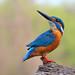 Common Kingfisher by karthik Nature photography