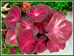 Potted Caladium 'Lucky Purple' (Moung Mong Kol, Lucky Purple Elephant Ear, Heart of Jesus 'Lucky Purple') thriving beautifully, April 7 2016