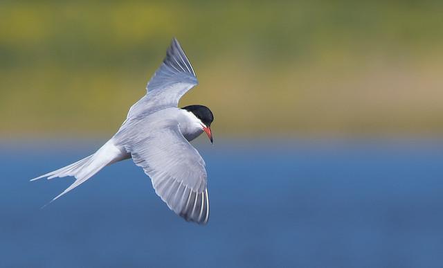 Sky Acrobats — Common Tern / Sterna hirundo