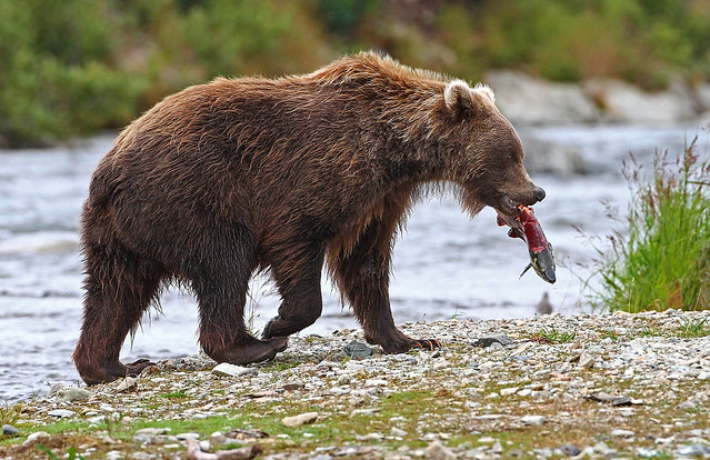 Brown Bear With Salmon Snack