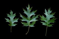 Quercus coccinea-Leaf_R_148_m1