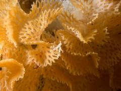 Hippelozoan novaezelandiae